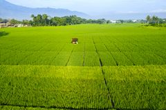 Green rice fields with farmer hut. Aerial view of green rice fields with farmer hut under blue sky in Semarang, Indonesia royalty free stock image