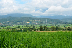 Green rice fields in farmland Stock Images