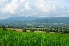 Green rice fields in farmland Stock Image
