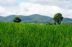 Green rice fields in farmland Royalty Free Stock Image