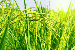 Green rice fields Royalty Free Stock Photography