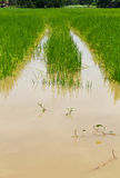Green rice fields are flooded Royalty Free Stock Photography