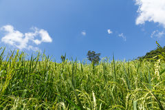 Green rice fields Royalty Free Stock Image