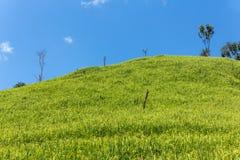 Green rice fields Royalty Free Stock Photo