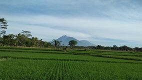 Green rice fields in front of merapi