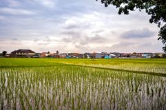 Green rice fields. Landscape of green rice fields with blue sky and clouds stock image