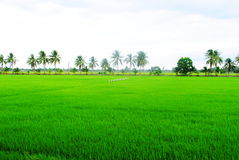 Green rice fields landscape Royalty Free Stock Image