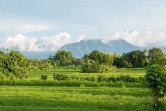 Green rice fields in Lovina on Bali island with volcano, Indones Royalty Free Stock Images