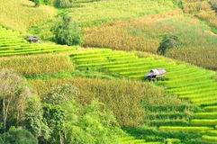 Green rice fields in Maejam Chiangmai Thailand. Stock Images