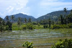 Green rice fields and mountain in Bali, Indonesia. Summer rural landscape by cloudy blue sky. Green rice fields and mountain in Bali, Indonesia royalty free stock photo