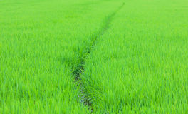 Green rice fields in Northern Stock Photography