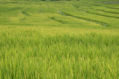 Green rice fields in Northern Highlands Royalty Free Stock Image