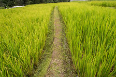 Green rice fields in Northern Highlands Royalty Free Stock Images