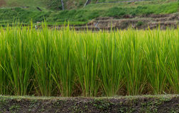 Green rice fields in Northern Highlands Stock Image