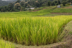 Green rice fields in Northern Highlands Royalty Free Stock Photo