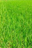 Green rice fields. In Northern of Thailand Stock Photo