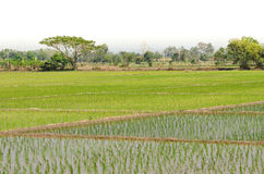 Green rice fields, Northern of Thailand Stock Photos
