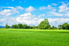 Green rice fields in Thailand. Green rice fields in northern Thailand royalty free stock photography