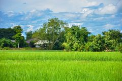 Green rice fields in Thailand. Green rice fields in northern Thailand stock photos