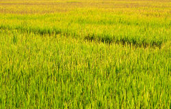 Green rice fields, Northern of Thailand Stock Photo
