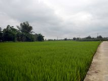 Green rice fields on overcast cloudy day Royalty Free Stock Photos