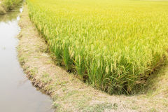 The Green rice in the fields rice background Stock Images