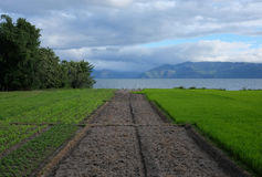 Green rice fields, Samosir Island, Lake Toba, Sumatra, Indonesia. stock image
