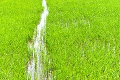 Green rice fields Stock Photography