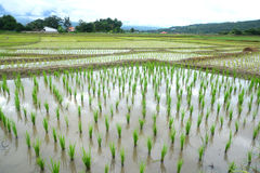 Green Rice fields on terraced Stock Photography