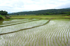 Green Rice fields on terraced Stock Images