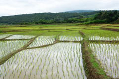 Green Rice fields on terraced Stock Image