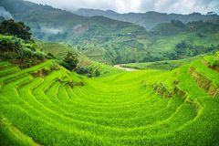 Green Rice fields on terraced Royalty Free Stock Image