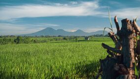 Canggu rice field with Mount Batur volcano in background. Green rice fields terraces with trees, small shed and Mountain Batur volcano silhouette in background stock video footage
