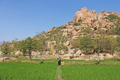 Green rice fields or terraces in the village of Hampi. Palm trees, sun, rice and large stones in Hampi. Tropical exotic landscape.  stock photo