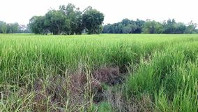 Green rice fields stock video