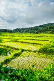 Green rice fields in Thailand. Green rice fields in front of the mountain with sky background in Maerim, Chiangmai, Thailand Royalty Free Stock Photography