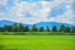 Green rice fields in Thailand. Green rice fields in northern Thailand royalty free stock photos