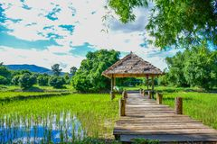 Green rice fields in Thailand. Green rice fields in northern Thailand royalty free stock image