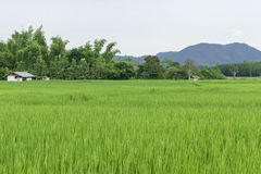 Green rice fields of Thailand. Stock Photography