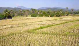 Green rice fields in the vicinity of Chiang Mai Royalty Free Stock Image