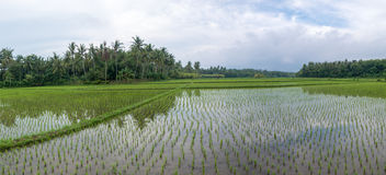Green rice fields with water on Bali island, Near Negara city, I Royalty Free Stock Photos