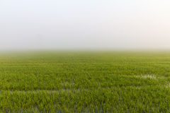 Green rice fog Royalty Free Stock Photos