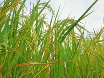Green rice gold plant in farm Stock Images