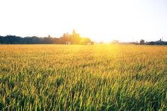 Green rice grain grow Royalty Free Stock Photography