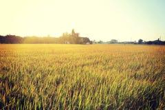 Green rice grain grow Stock Image