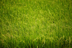 Green rice land Royalty Free Stock Images