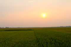 Green rice paddies stretching sunset Stock Images
