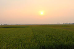Green rice paddies stretching sunset Royalty Free Stock Photo