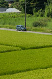 Green Rice Paddy Stock Photography