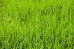 Green rice paddy field Stock Photography